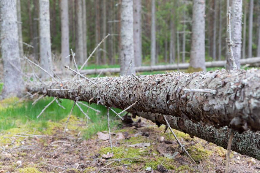 Ett träd angripet av granbarkborrar.