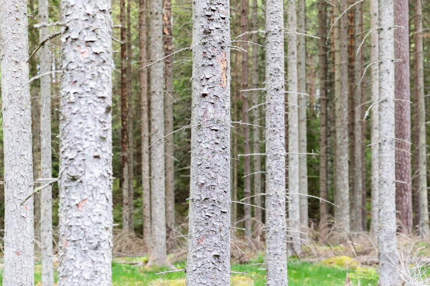 Död skog, där träd dött på grund av granbarkborren.
