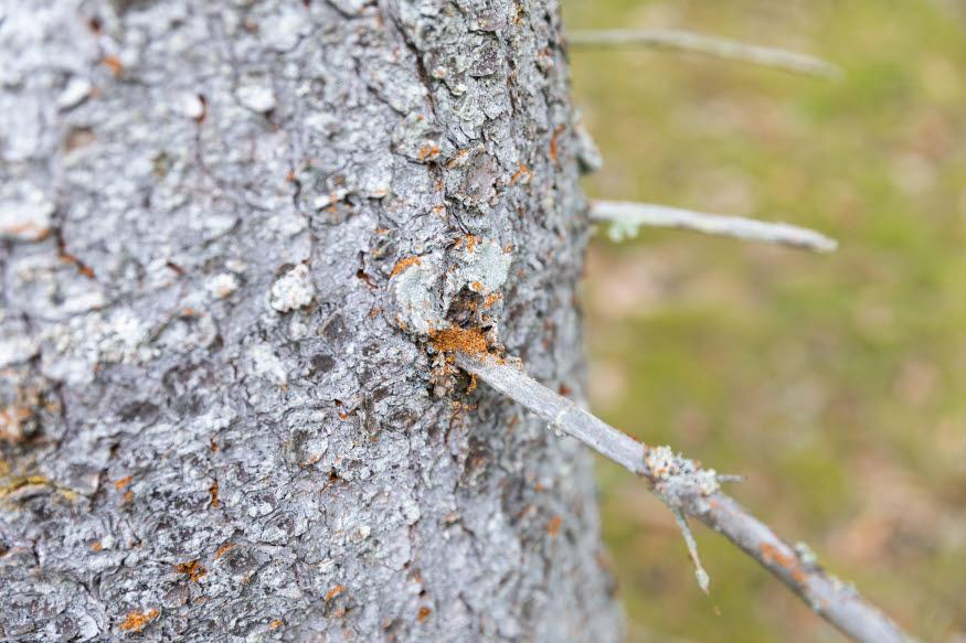 Angrepp av granbarkborrar i gran. Trädet saknar barr och har rött borrdamm.